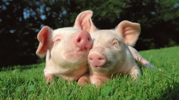 expresión en francés copain comme cochon